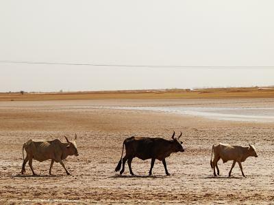 Vacas atravesando Senegal