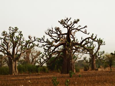 baobab de Senegal