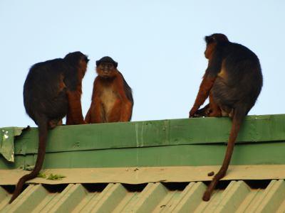 Unos monos en un resort de Gambia