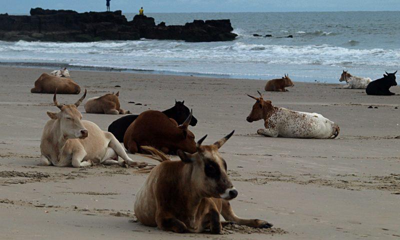 Las vacas en Cap Sprining
