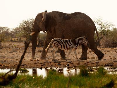 Elefante y cebra en Ethosa