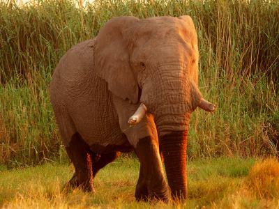 Elefante en Ethosa