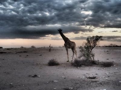 Una jirafa observa de madrugada en Ethosa