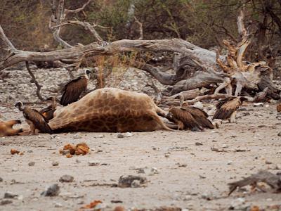 Los depredadores hacen su tarea en Ethosa