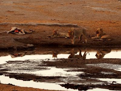 Unos leones se comen a unas jirafas