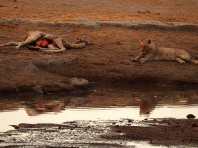 Leones tras el festín en Ethosa