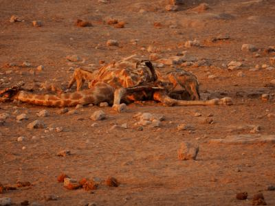 Los carroñeros hacen su trabajo en Ethosa