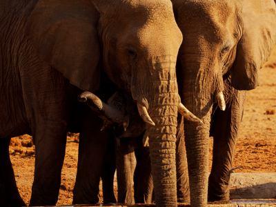 Varios elefantes en Ethosa