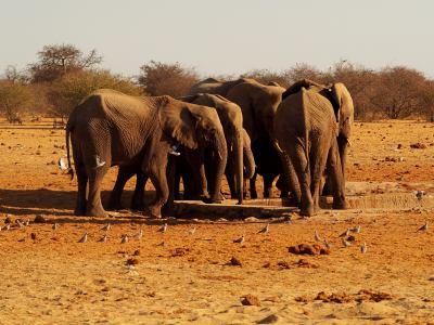 Varios elefantes beben en Ethosa