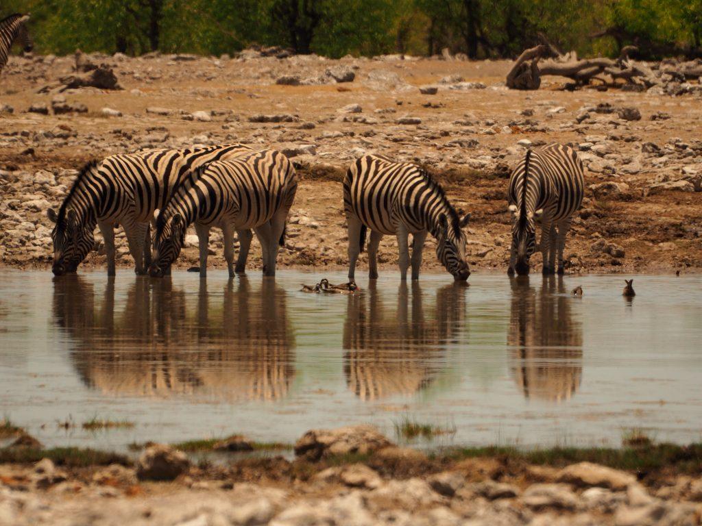 Varias cebras bebiendo en Ethosa
