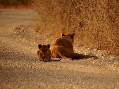 Un pequeño león con su mama en Ethosa