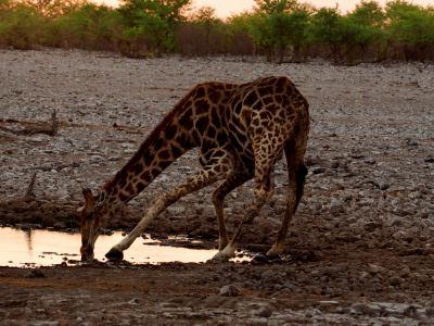 Una jirafa bebe en Ethosa al amanecer