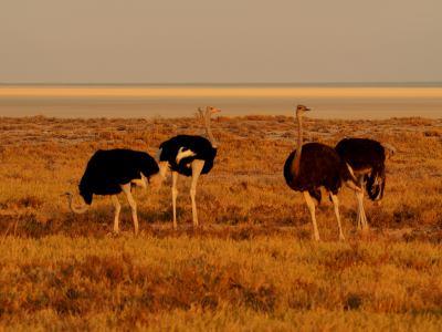 Varias avestruces en Ethosa