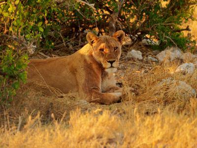 Una leona descansa en Ethosa