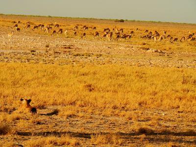 Una leona observa el panorama tranquilamente, ha comido