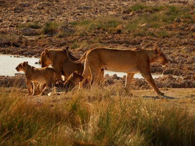 Una camada de leonas en Etosha