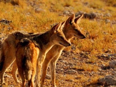 Dos chacales en Ethosa