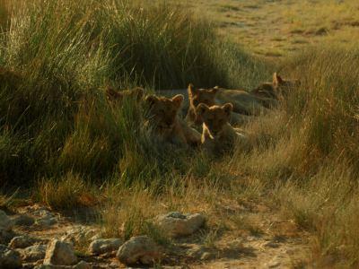 Los leoncitos de la camada de Etosha