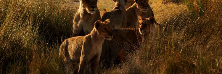 Leones con su camada en Ethosa