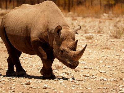 Un rino andando tranquilo por Ethosa