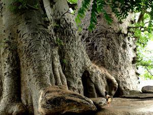 El árbol sagrado de un poblado Bassari
