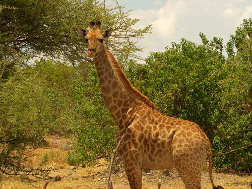 Una jirafa nos mira en Moremi