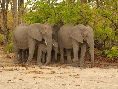 Elefantes en Moremi Game Reserve