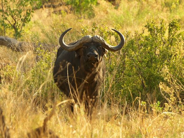 Bufalo que nos mira desafiante en Moremi