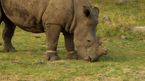 Un rino con el cuerno amputado