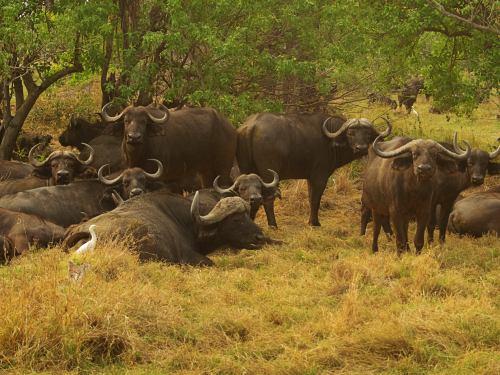 Una manada de búfalos merodeando nuestro campamento