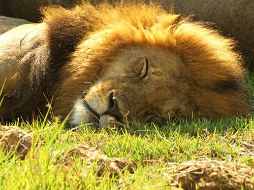 León en la Reserva de Moremi