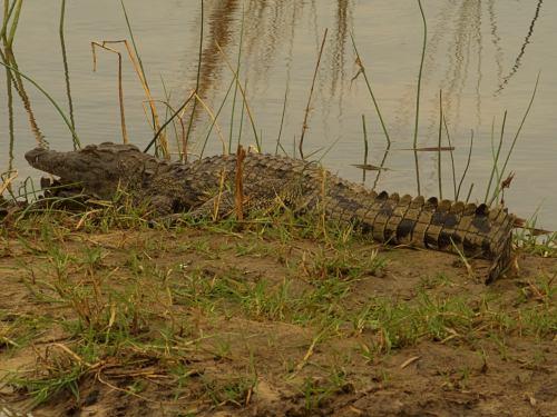 Inmenso cocodrilo delante de nuestro campamento