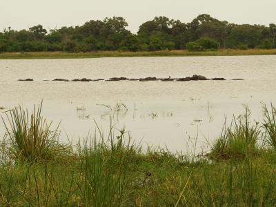 Cientos de hipopótamos