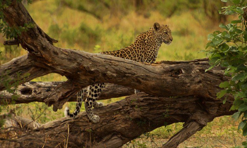 Un leopardo en la Reserva de Moremi junto a nuestro campamento