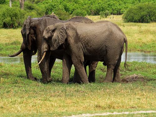 Dos elefantes en el Delta del Okavango
