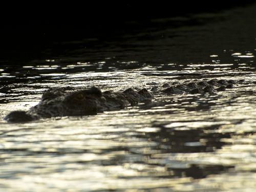 Tremendo cocodrilo en Chobe