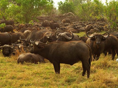 Una manada de búfalos