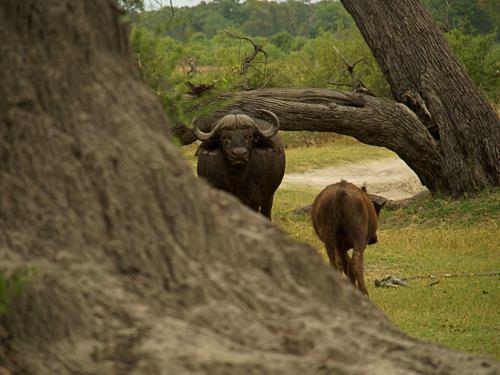Un bufalo junto a nuestras tiendas