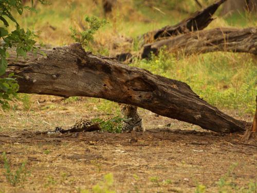 El leopardo espera a su madre