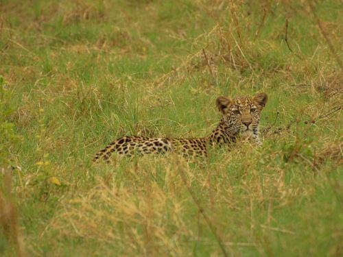 Un bellísimo leopardo en Botswana