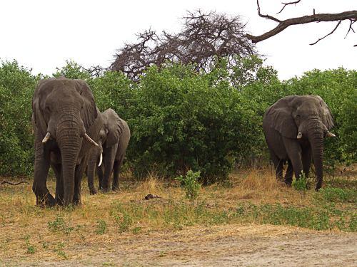Elefantes en Moremi derrumban un árbol