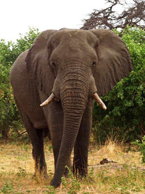 Elefante en Moremi