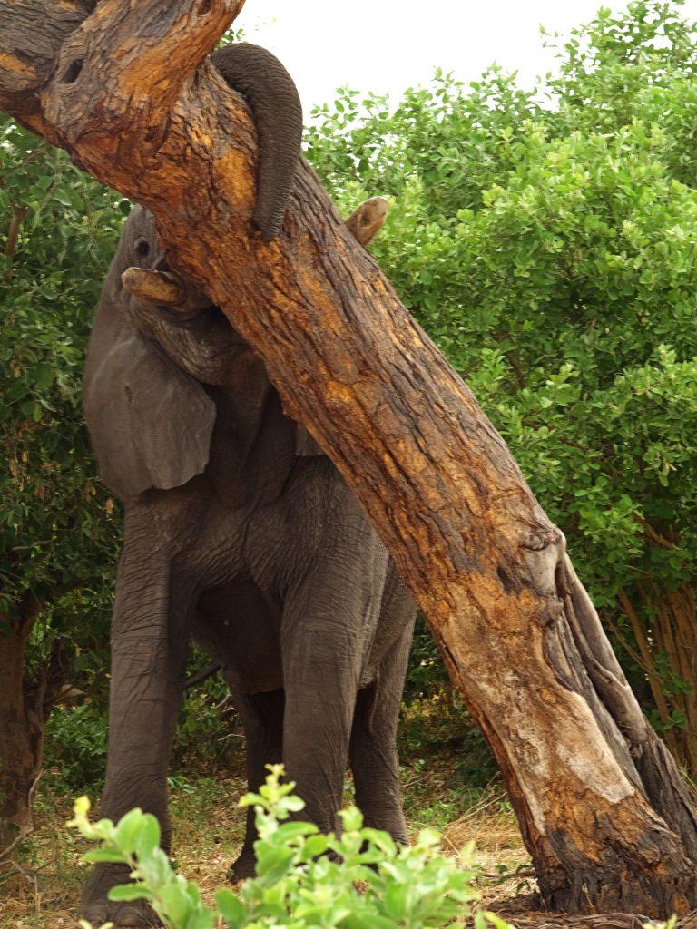Elefante derribando un árbol
