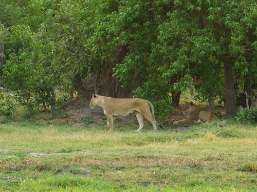 Dos leonas cazando en Moremi