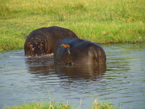 Dos rinos en Moremi