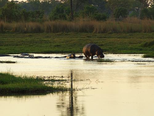 Hipos en el Delta del Okavango