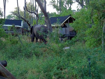 Elefantes rodeando nuestras tiendas