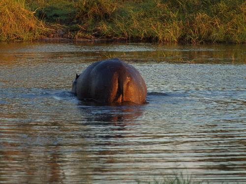 Un hipo en el Delta del Okavango