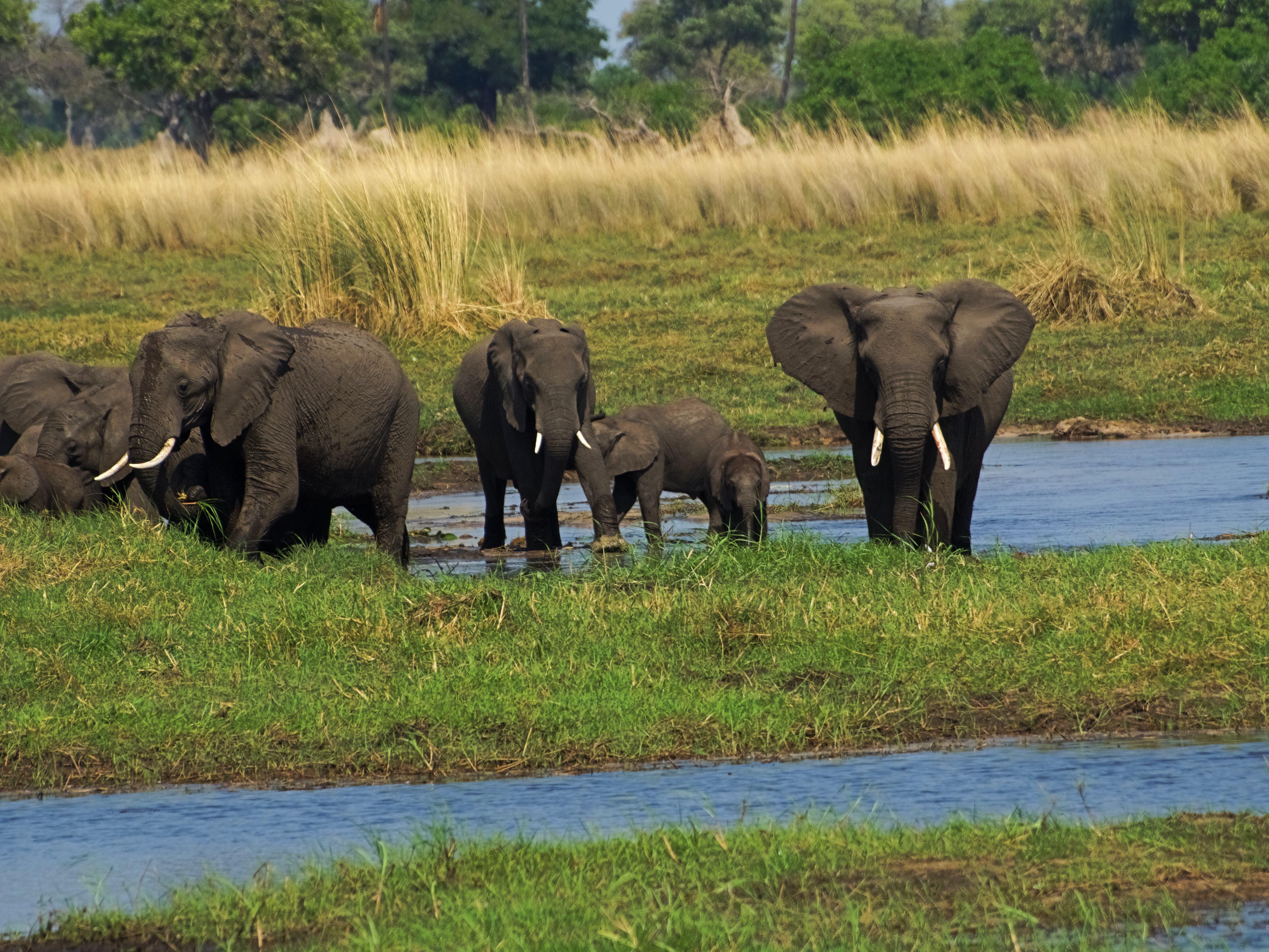 Elefantes en el Delta del Okavango