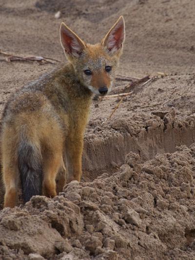 Un chacal en Chobe